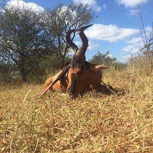 Red Hartebeest Hunting in South Africa
