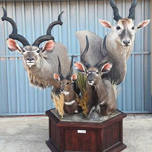 Kudu,  Bushbuck,  Nyala & Eland Shoulder Mount Pedestal Taxidermy
