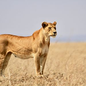 Lioness in the Serengeti National Park Tanzania