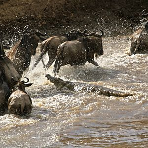 Blue Wildebeest River Crossing Tanzania