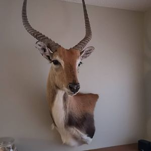 Red Lechwe Shoulder Mount Taxidermy