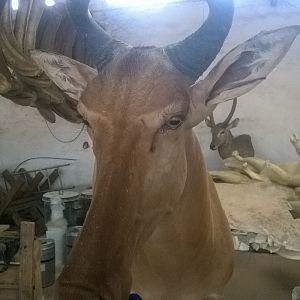 Red Hartebeest Shoulder Mount Taxidermy