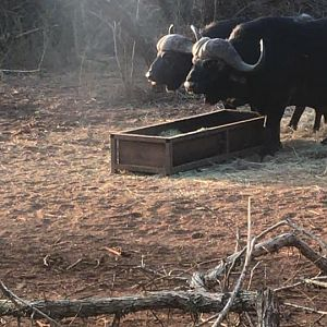Cape Buffalo South Africa