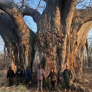 Boabab Tree in Zimbabwe