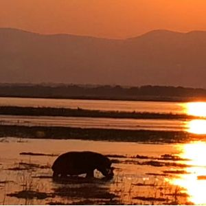 Hippo in the sunset of Zimbabwe