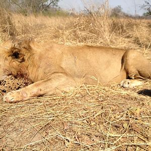 Hunt Lion in Burkina Faso