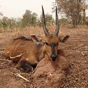 Burkina Faso Hunting Harnessed Bushbuck