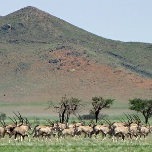 Gemsbok in Namibia