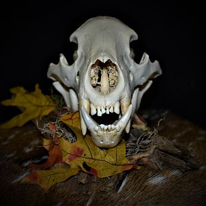 Bear European Skull Mount Taxidermy