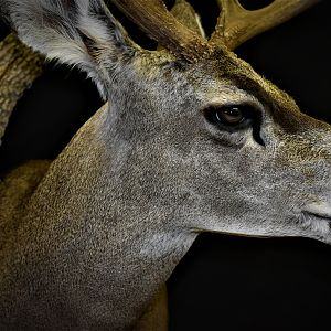 Mule Deer Shoulder Mount Taxidermy