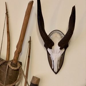 Bushbuck European Skull Mount Taxidermy