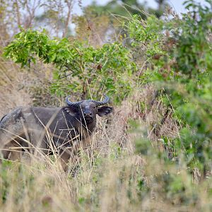 West African Savanna Buffalo Burkina Faso