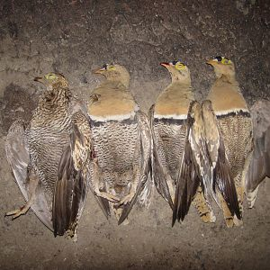South Africa Wing Shooting Sandgrouse