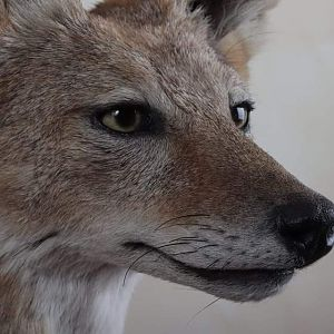 Jackal Full Mount Taxidermy Close Up