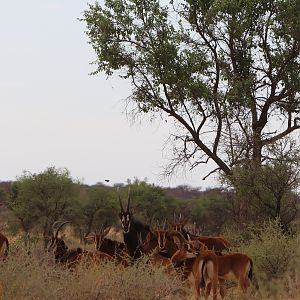 Group of Sable Antelope youngsters & Bull in Namibia