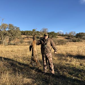 Hunting Coyote in USA