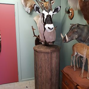Gemsbok Shoulder Mount Pedestal Taxidermy