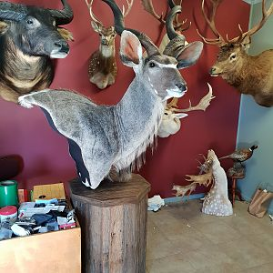 Kudu Shoulder Mount Pedestal Taxidermy