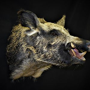 Boar Shoulder Mount Taxidermy