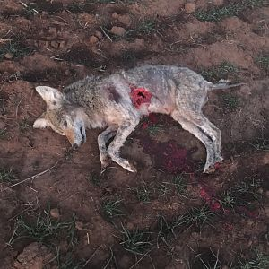 Texas USA Hunting Coyote