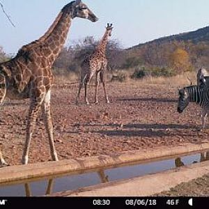Trail Cam Pictures of Giraffe & Burchell's Plain Zebra in South Africa