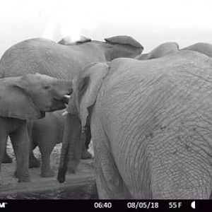 Elephant Trail Cam Pictures South Africa