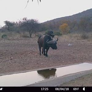 Trail Cam Pictures of Cape Buffalo in South Africa