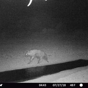 Brown Hyena Trail Cam Pictures South Africa