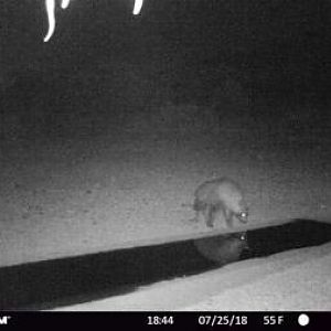 Trail Cam Pictures of Brown Hyena  in South Africa