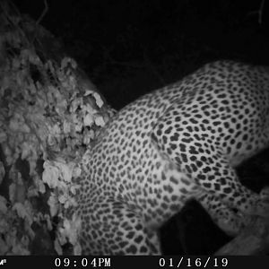 Leopard Trail Cam Pictures Zimbabwe