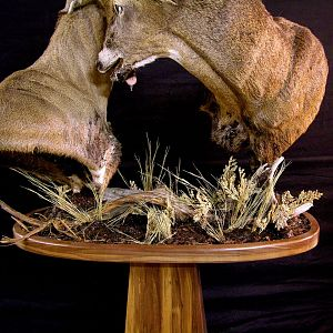 Locked Bucks Pedestal Mount Taxidermy