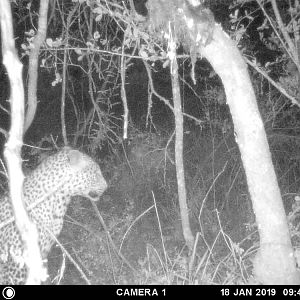 Zimbabwe Trial Cam Pictures Leopard
