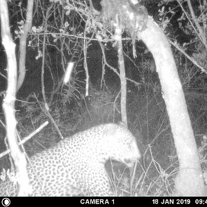 Trial Cam Pictures of Leopard in Zimbabwe