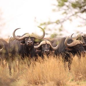 Herd of Cape Buffalo South Africa