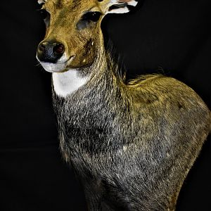 Nilgai Shoulder Mount Taxidermy