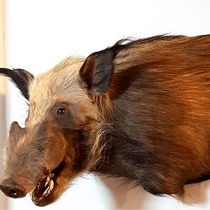 Bushpig Shoulder Mount Taxidermy