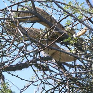Rattlesnake in a tree Arizona USA