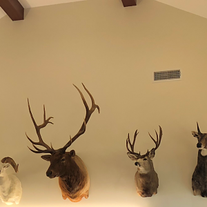 Dall Sheep,  Red Stag,  Mule Deer & Nilgai Shoulder Mount Trophies Taxidermy