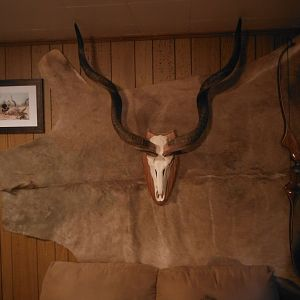 Kudu European Skull Mount & Kudu Back Skin Taxidermy