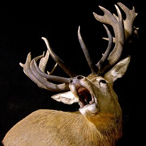 Roaring Red Stag Shoulder Mount Pedestal Taxidermy