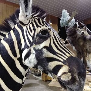 Zebra Shoulder Mount Taxidermy Fixed