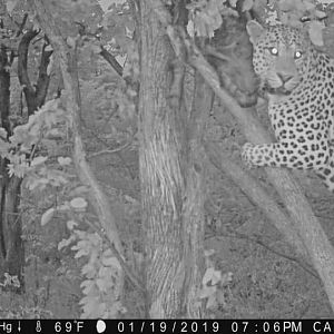 Zimbabwe Trail Cam Pictures Leopard