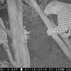 Trail Cam Pictures of Leopard in Zimbabwe