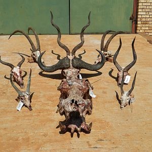 All Trophies of the Safari South Africa