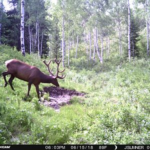 Trail Cam Pictures of Elk