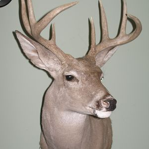 Coues Deer Shoulder Mount Taxidermy