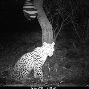 Trail Cam Pictures of Leopard in Namibia