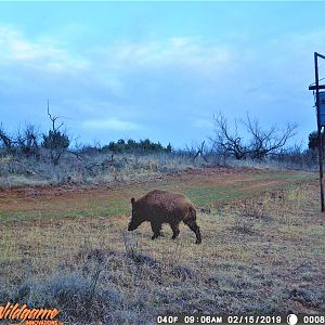 Eurasian Boar Trail Cam Pictures Texas USA
