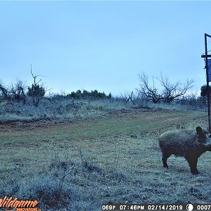 Texas USA Trail Cam Pictures Eurasian Boar