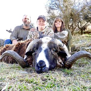 New Zealand Hunt Arapawa Ram